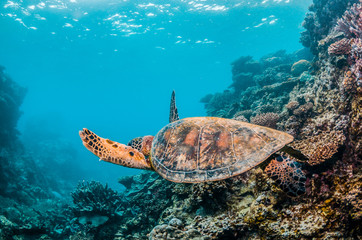 Spoed Fotobehang Schildpad Sea turtle swimming in the wild among colorful coral reef