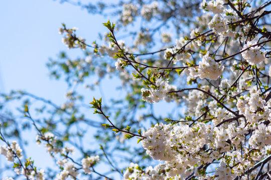apple brunch in white blossom
