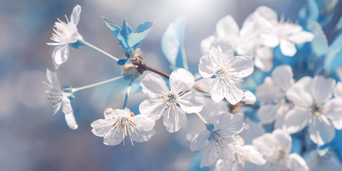 Cherry branch blossoms in the sunlight, beautiful abstract spring background, blue toned. Selective focus. Banner.