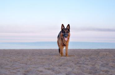 Summer, dawn on a sandy beach, a German shepherd dog stands on the beach