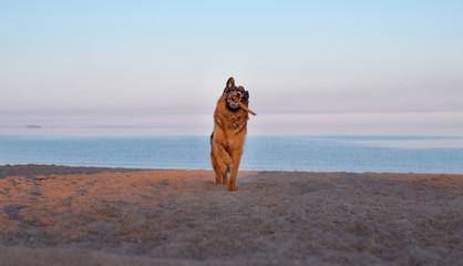 Summer, dawn on a sandy beach, a German shepherd dog runs along the beach