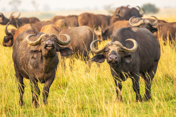 African buffalo or Cape buffalo (Syncerus caffer), Murchison Falls National Park, Uganda.