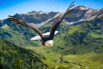 Adler fliegt in großer Höhe mit ausgebreiteten Flügeln an einem sonnigen Tag in den Bergen. Fototapete