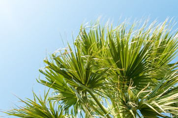 Wall Mural - Palm leaves. A palm tree, seen from below. Green palm leaves against blue sky background. Daylight, natural background, palm leaf design. Tropical plant under sunny sky. Vertical placement. No people.