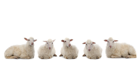 Foto op Aluminium Schapen five Lying sheep isolated on a white background.