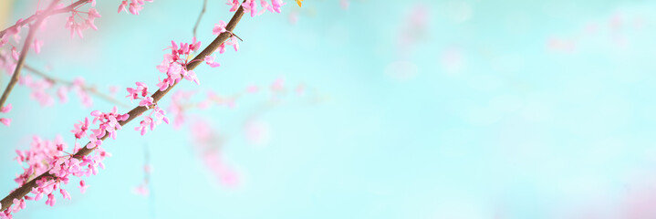 Abstract spring banner of beautiful Eastern Redbud Tree blossoms against soft peaceful blue sky. Selective focus with extreme blurred background.
