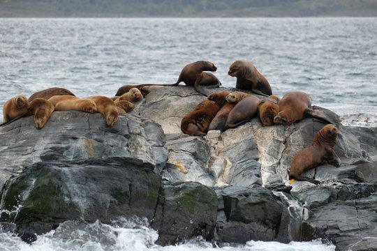 Sea lions standing on a rock, Beagle channel Ushuaia