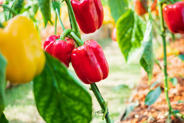 Red bell pepper plant growing in organic garden Wall mural