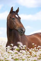 Portrait of nice brown horse posing on buckwheat field
