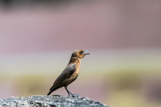 The brown rock chat or Indian chat bird or Oenanthe fusca bird. perched on concreat surface