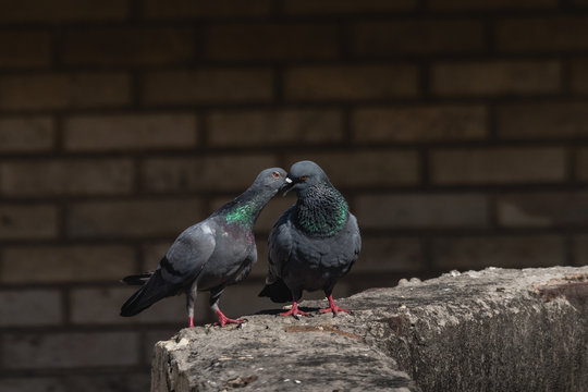 Pair of Rock Dove
