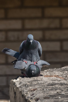 Pair of Rock Dove posed for mating