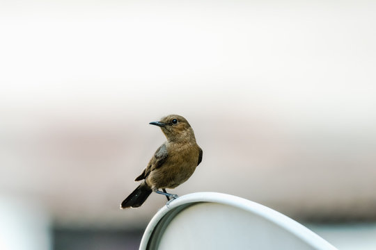 The brown rock chat or Indian chat bird or Oenanthe fusca bird. perched on a metal surface