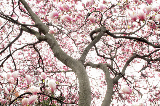 An explosion of magnolia blossoms