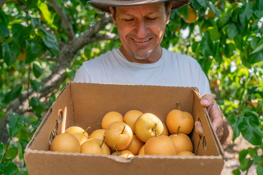 A middle-aged man harvesting pears and holding a basket full of fresh fruits, enjoying an active lifestyle in a local orchard in Willcox, Arizona.