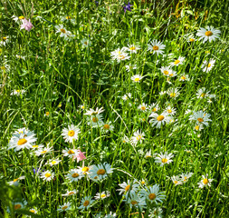 Fototapete - Chamomile on a background of pasture at sunset. White chamomile on green summer meadow