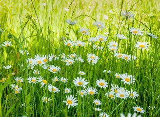 Wall Mural - White chamomile on green summer meadow