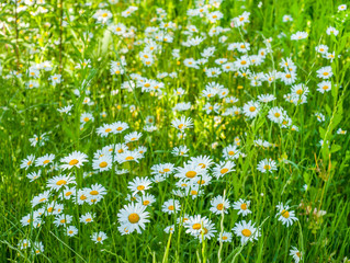 Fototapete - Close up of White chamomile on green summer meadow