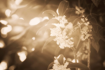 Group of Sweet osmanthus or Sweet olive flowers blossom on its tree - color filter effect style...