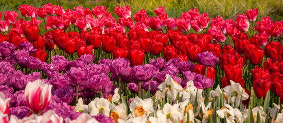 Photo sur Aluminium Rouge traffic Beautiful red, borderous tulips and white narcissists in the garden