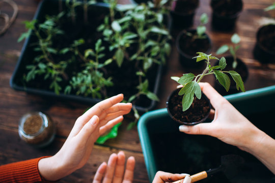 Concept planting seedlings indoor holding garden tools. Close up Hands of girls and little sprouts in pot with earth