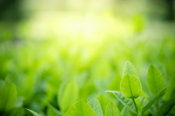 Amazing nature view of green leaf on blurred greenery background in garden and sunlight with copy space using as background natural green plants landscape, ecology, fresh wallpaper concept. Wall mural