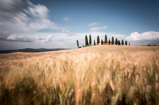 Val d'Orcia landscape, golden meadow, Pienza, Tuscany, Italy
