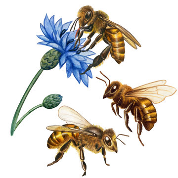 Watercolor realistic honey bees collection