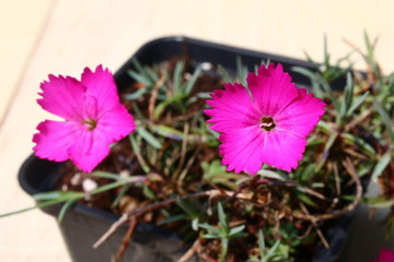 Obraz Goździk siny Dianthus gratianopolitanus - fototapety do salonu
