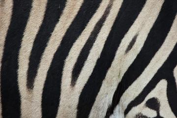 Wall Murals Zebra Zebra (Hippotigris) Pattern Texture Close-up