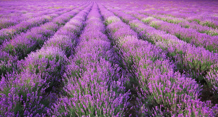 Wall Mural - Meadow of lavender texture.