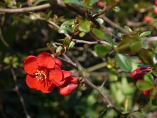 Fototapeta Die Blüten der Zierquitte