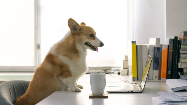 work from home concept .portrait of adorable corgi dog smile sat front of laptop and white coffee glass for working from home office weekend or social distancing