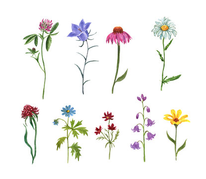 Wildflower meadow collection. Watercolor hand drawn wild flowers and herbs illustration, isolated on white background. Purple coneflower, bluebell, daisy, pink clover, baby cosmos. Floral set.