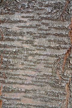 texture of bark of cherry tree