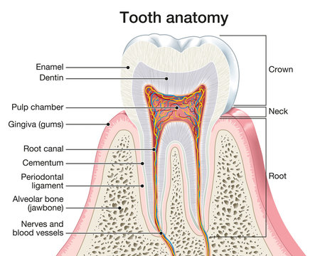 Tooth anatomy, medically accurate illustration