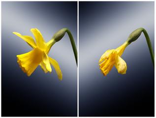 Garden Poster Narcissus eine gelbe Narcisse isoliert und close up