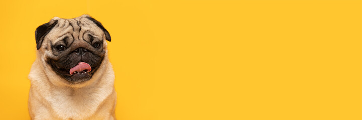 Banner adorable dog pug breed making happy face standing on yellow background,Happy dog smile ready to summer,Pug Purebred Dog Concept Fotobehang