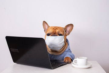 dog french bulldog works at a laptop in a medical mask
