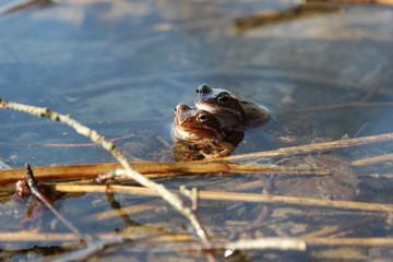 Obraz Krycie, gody żab w okresie wiosennym, para żab zwyczajnych, w wodzie w Polsce. - fototapety do salonu