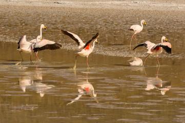 Stores à enrouleur Flamingo Flamants andins sur l'altiplano