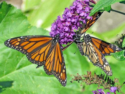 Toronto High Park Monarchs 2018