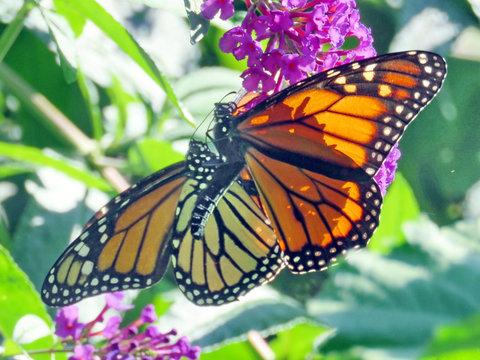 Toronto High Park the Monarchs on a buddleja flower 2018