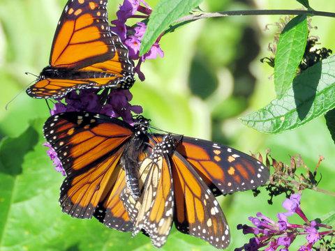 Toronto High Park the three Monarchs 2018