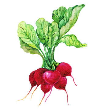 radish watercolor on an isolated white background