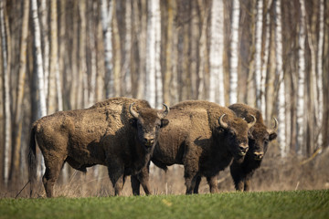 Fotorolgordijn Bison European bison - Bison bonasus in the Knyszyn Forest (Poland)