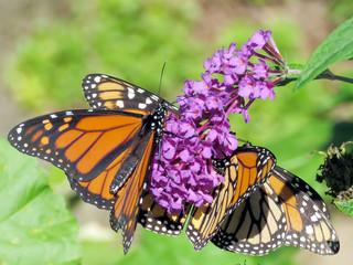 Toronto High Park three Monarchs 2018