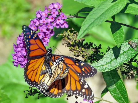 Toronto High Park two Monarchs make love 2018