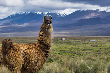 Self adhesive Wall Murals Lama Close-up of a lama in the Bolivian Altiplano, its natural habitat, with snowy mountains in the background