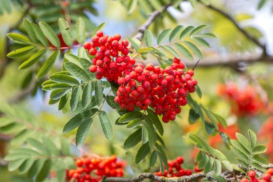 mountain ash or rowan (in german Vogelbeere, Eberesche Vogelbeerbaum) Sorbus aucuparia